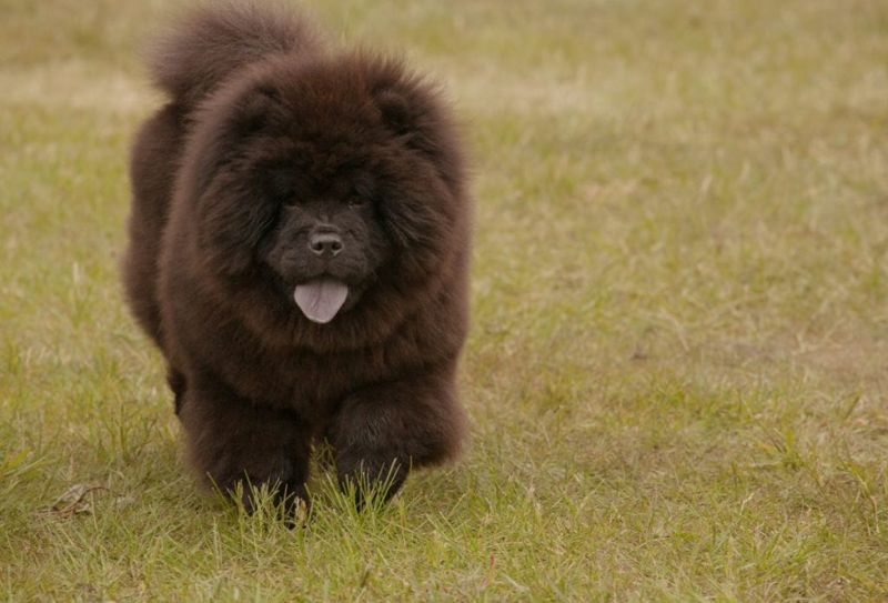 Black chow puppy in field