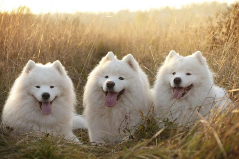 How much is Samoyed