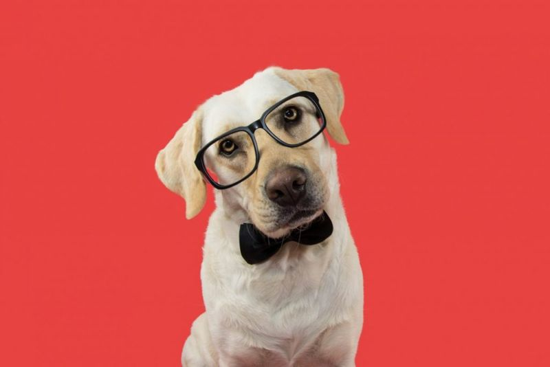 Yellow Labrador wearing glasses