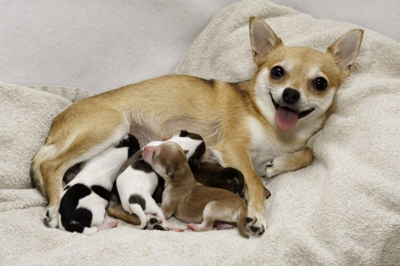Small dog with young puppies