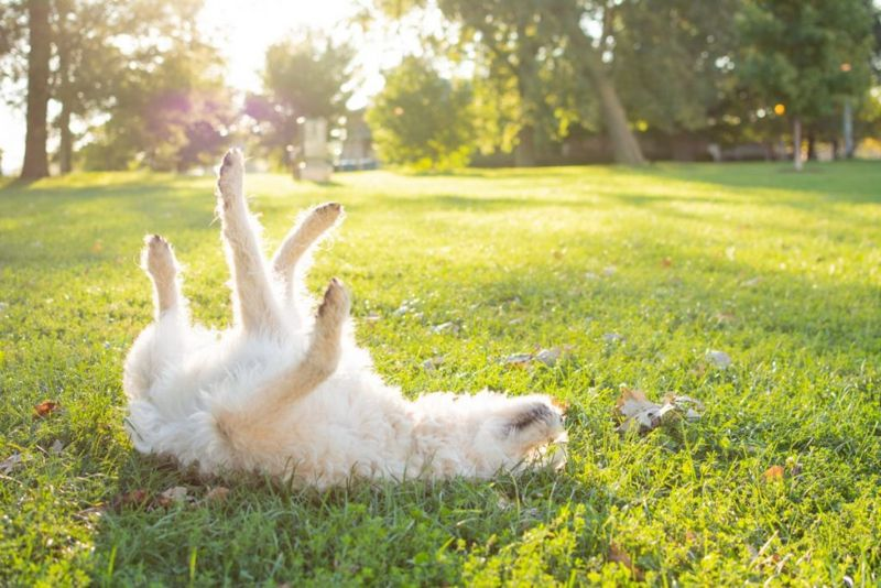 White Labradoodle rolling in grass