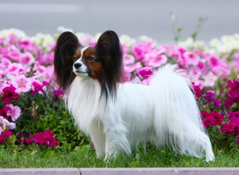 Brown-and-white Papillon and purple flowers