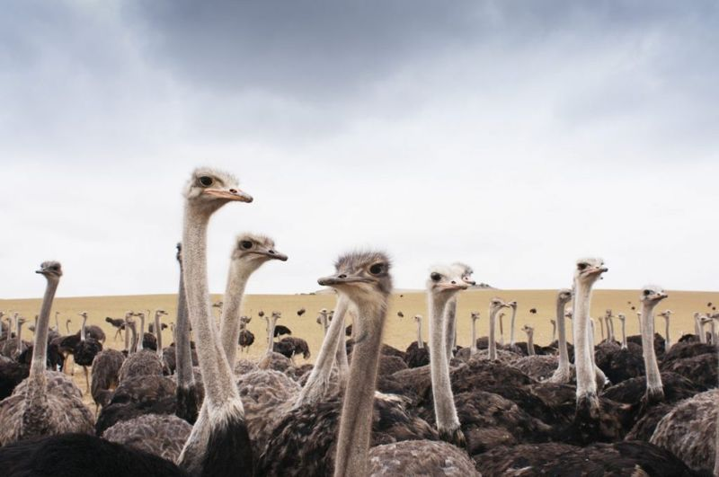 ostrich double-kneecaps research