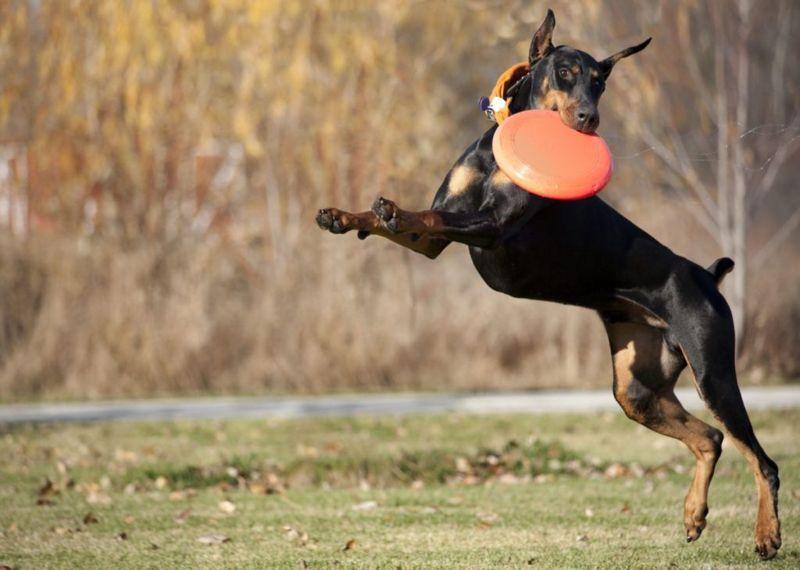Doberman jumping to catch disc