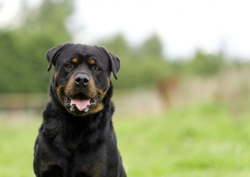 How much is Rottweiler