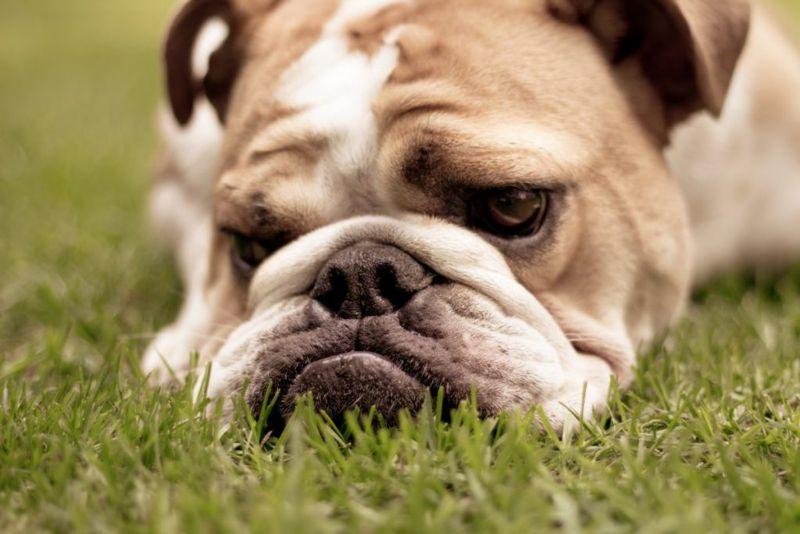 Close-up of English Bulldog lying on grass looking sad.