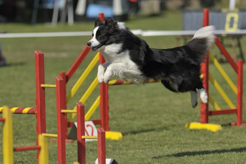 Black-and-white border collie jumping