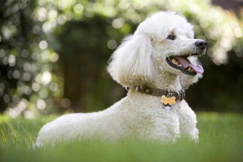Happy white poodle in grass