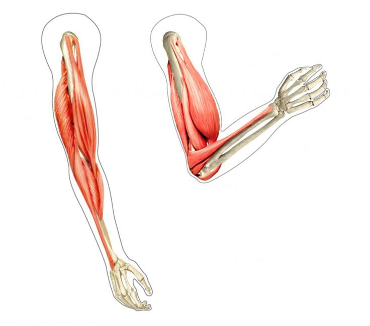 muscles of the arm movement