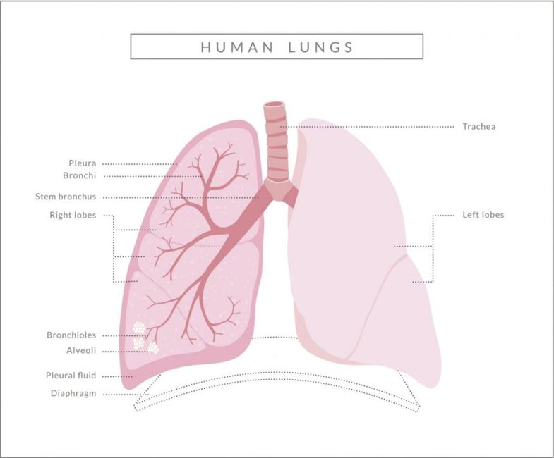 Lung Anatomy Pleural Cavity