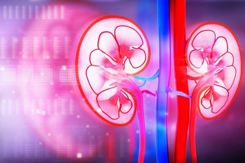 kidney renal artery