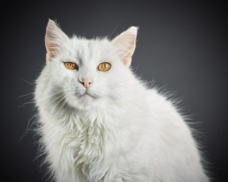 Beautiful cat with gold eyes