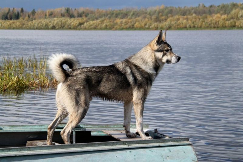 How much is Canadian Eskimo Dog