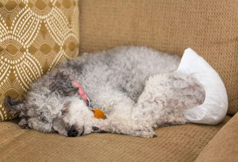 dog diaper discharge