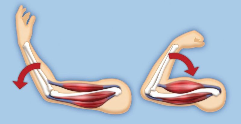 upper arm muscles anterior compartment