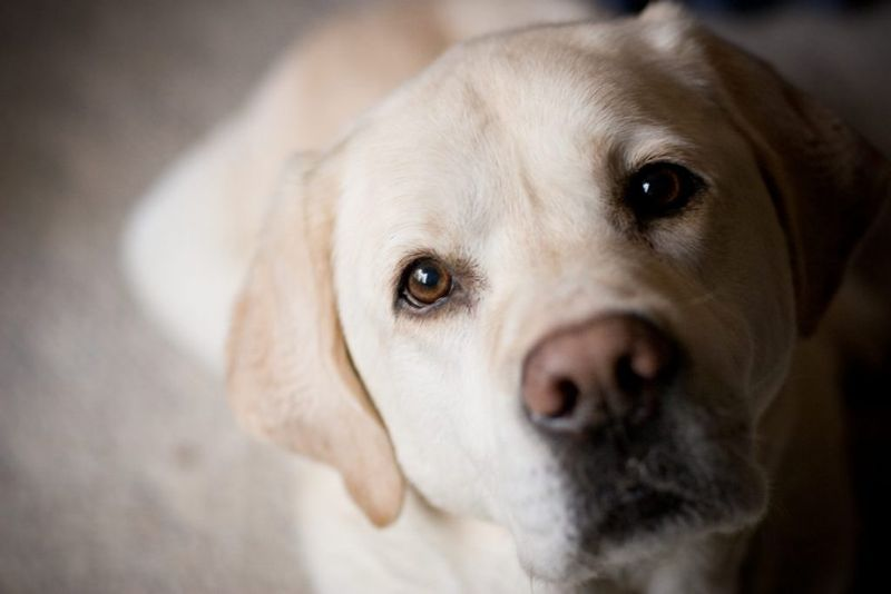 Yellow lab looking at you