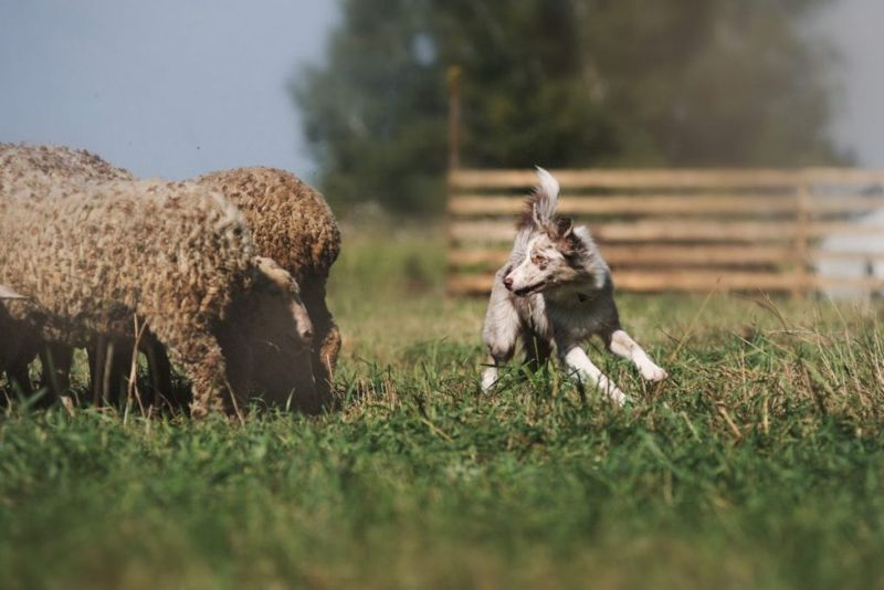 Sheepdog working with tail up