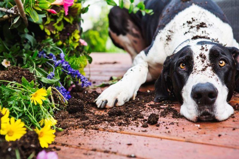 dietary indiscretion dog garbage grass