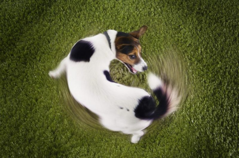 Jack Russell chasing its tail