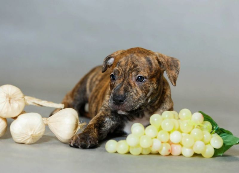 Puppy and grapes