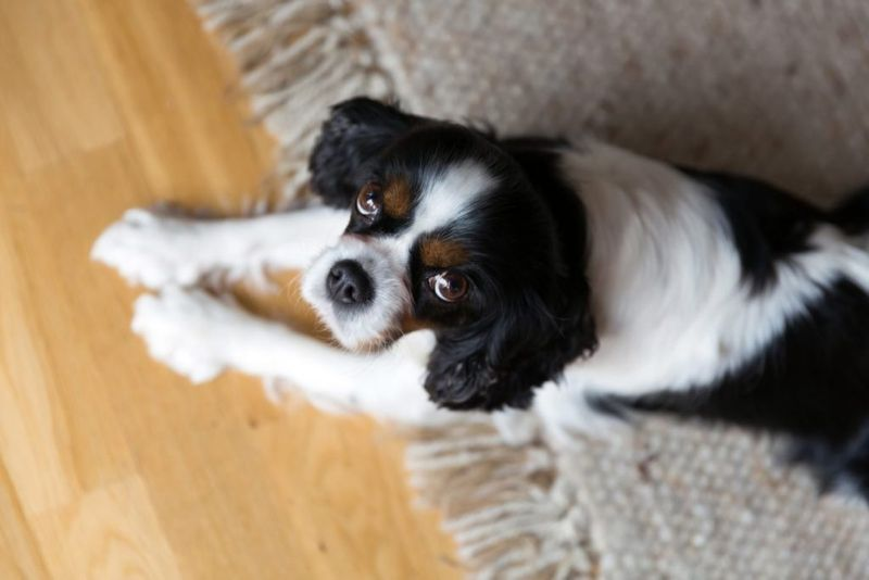 How much is Cavalier King Charles