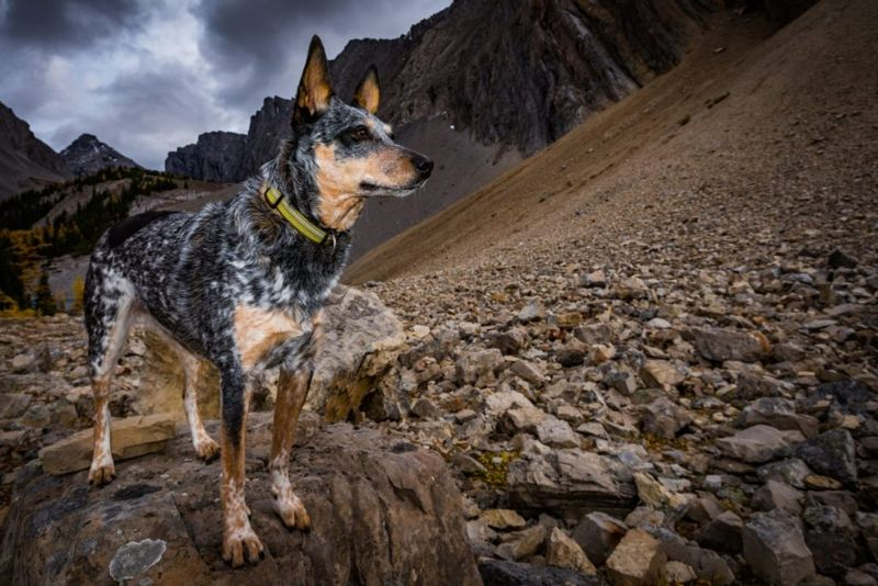 Blue heeler with rugged mountains