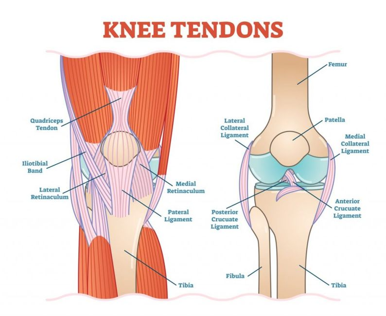 knee joint proximal