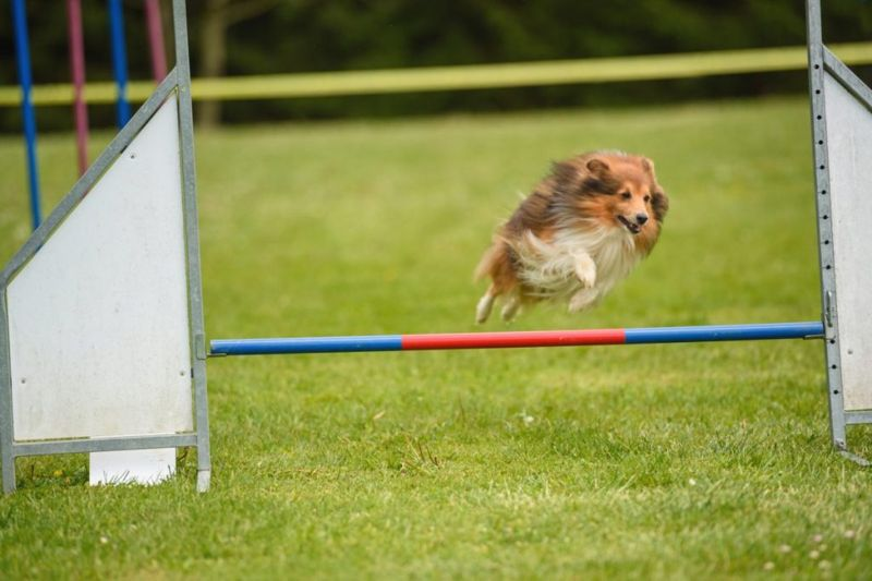 Sheltie jumping on agility course