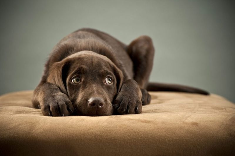 Sad brown puppy on bed