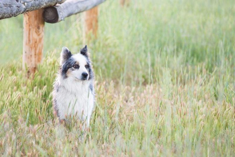 Australian shepherd sits in tall grass