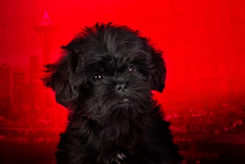 Affenpinscher puppy on a red background. Silhouette of an urban landscape.