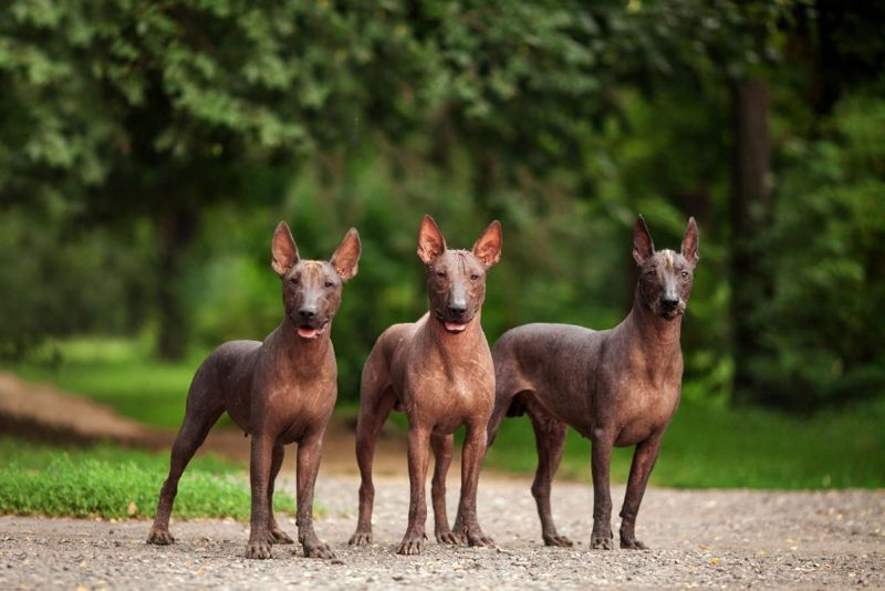 Horizontal portrait of three dogs of Xoloitzcuintli breed, mexican hairless dogs of black color of standart size, standing outdoors on ground with green grass and trees on background on summer sunny day