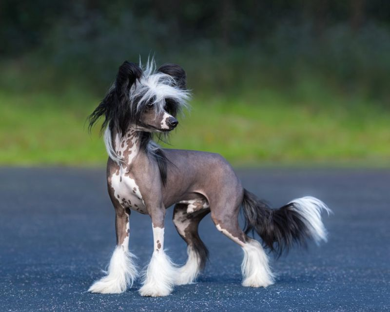 Chinese Crested Dog Breed. Male dog. Age 1 year.