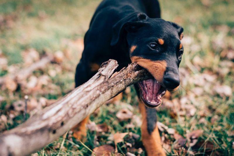 puppy chewing stick