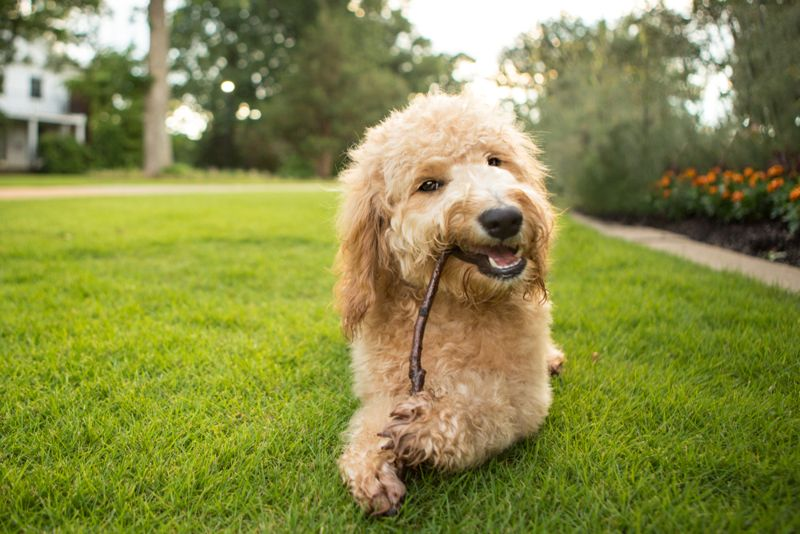 Goldendoodle puppy chews on a stick at the park