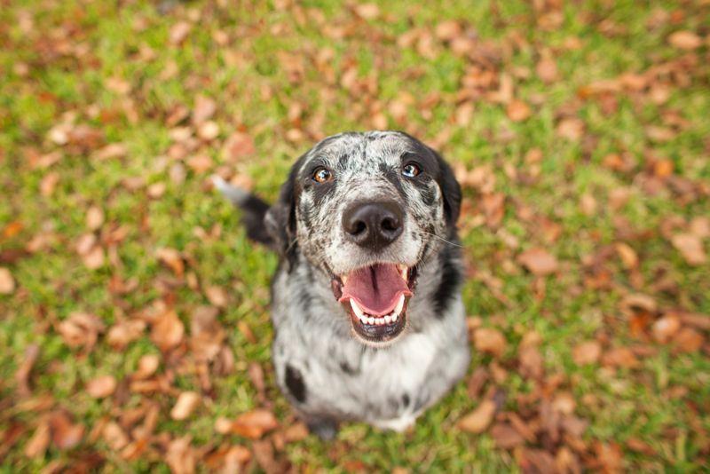 catahoula smart dog