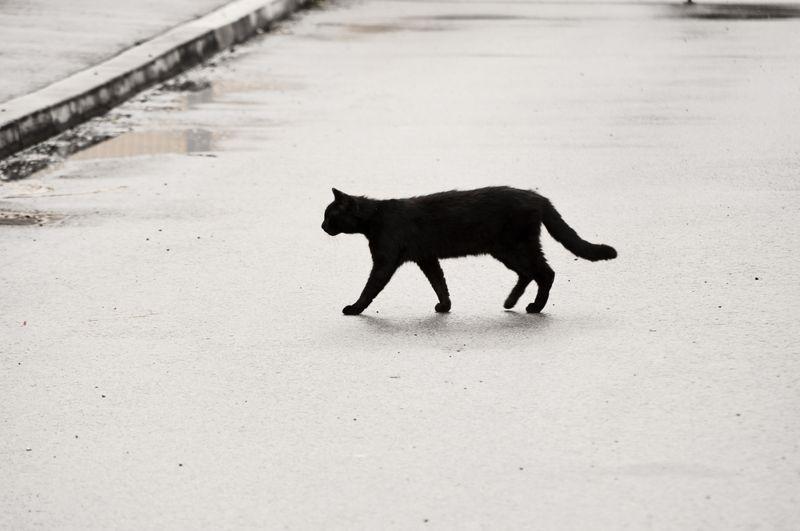 Black cat crossing the road