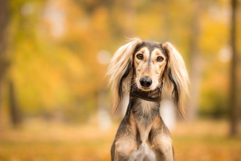 amazing autumn portrait of adorable saluki persian hound