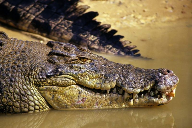 Close-up of saltwater crocodile on shore