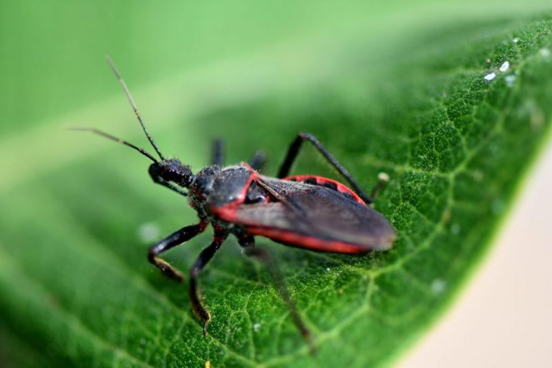 American trypanosomiasis triatomine kissing bugs