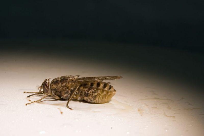 tsetse fly African trypanosomiasis