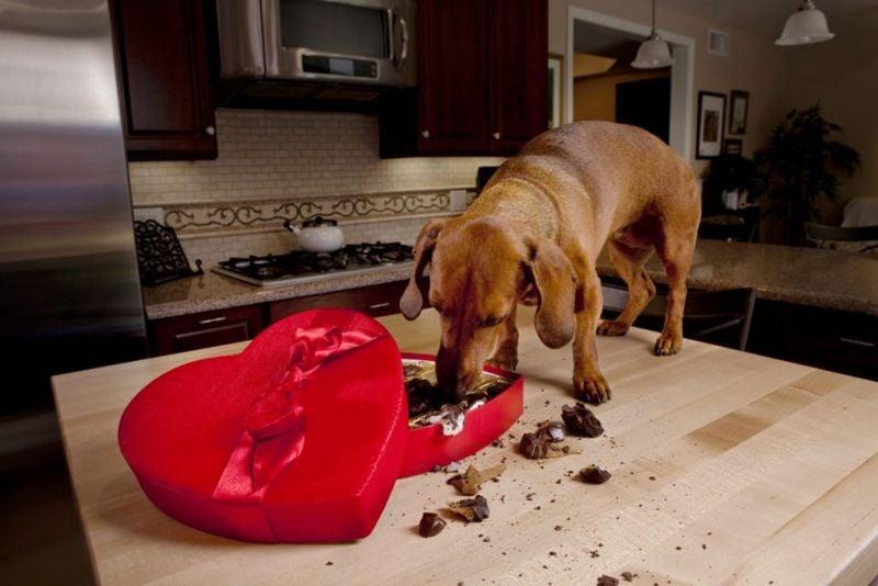 dog food toxic chocolate
