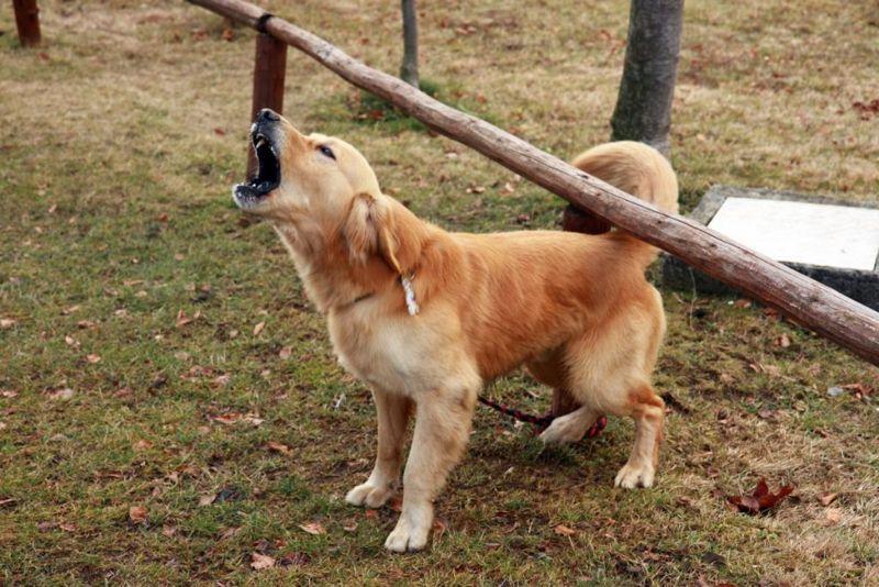 Barking golden retriever in park