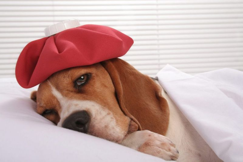 Basset hound with ice pack