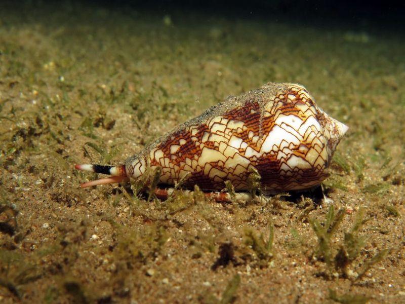 Cone snail on ocean floor