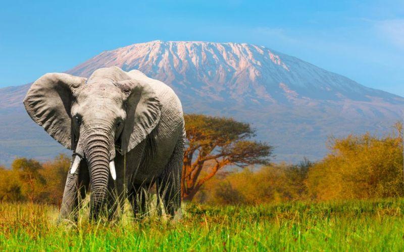 Elephant with Kilimanjaro in background