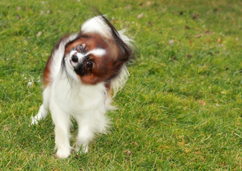 Small, dry dog shaking head