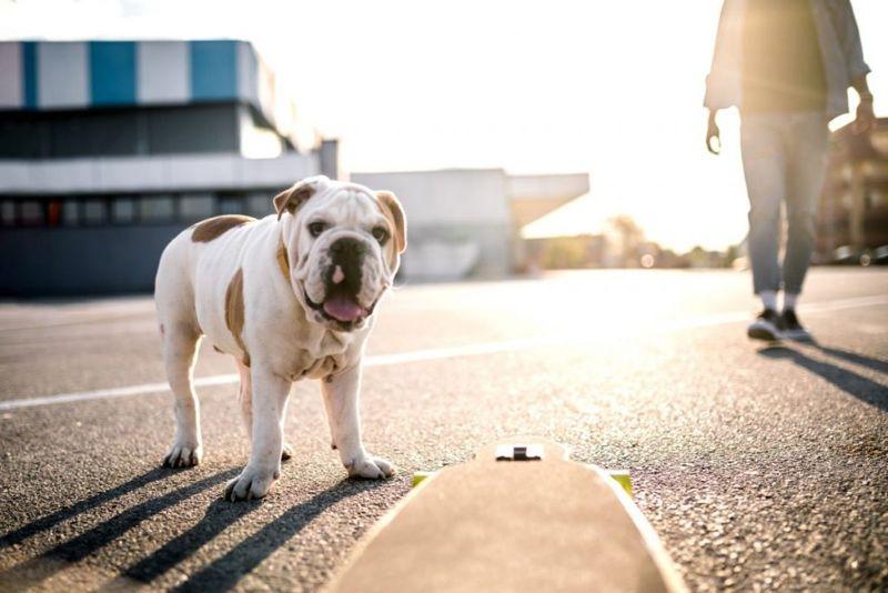Cute bulldog on sunny walk