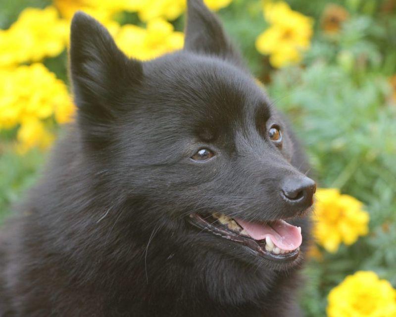 schipperke feisty watchdog
