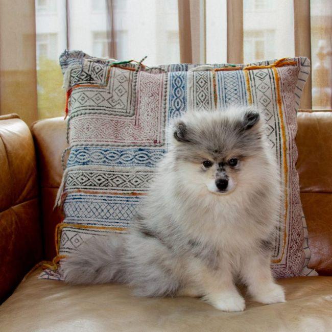 Pomsky on a sofa